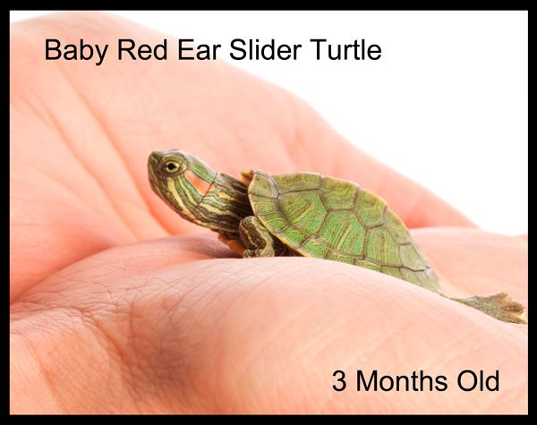 how to hold a red eared slider