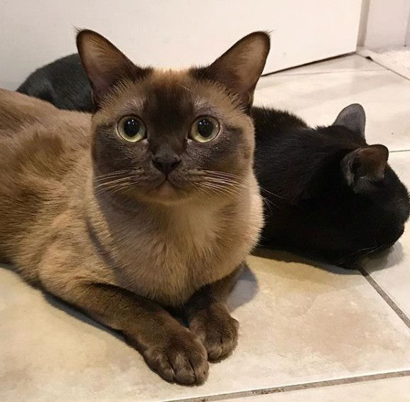 Cat Breeds That Are Great For People Over 50 6 Burmese Burmese Are Energetic And Friendly They Have A Softer Voice Tha Cat Breeds Burmese Cat Cat Allergies