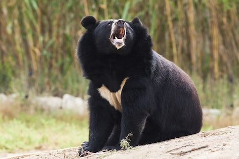 Himalayan black bears are scattered across the Himalayas from Bhutan to Pakistan. They are most populous in mountainous areas and jungles. They are omnivorous creatures and will eat just about anything. Their diet consists of acorns, nuts, fruit, honey, roots, and various insects such as termites and beetle larvae. If food is scarce, they may turn to eating livestock such as sheep, goats, and cattle.