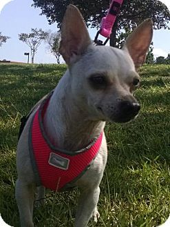 Pictures of Katana a Chihuahua for adoption in Pembroke, GA who needs a loving home.
