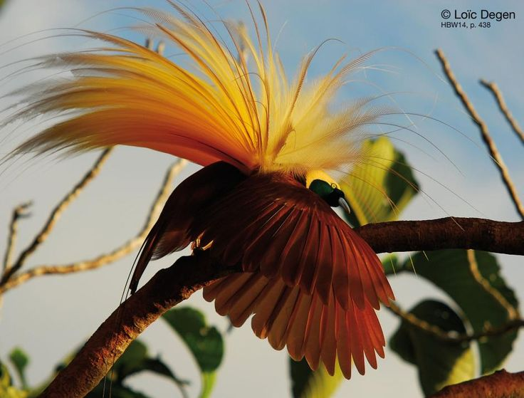 The Greater Bird-of-paradise (Paradisaea apoda) is the largest member in the genus Paradisaea, with males measuring up to 43 cm (17 in) (excluding the long twin tail wires). The plumage of this species is also sexually dimorphic. The male has an iridescent green face and a yellow glossed with silver iridescence crown, head and nape. The rest of the body plumage is maroon-brown. The flank plumes, used in displays, are yellow at the base, turning white and streaked with maroon.
