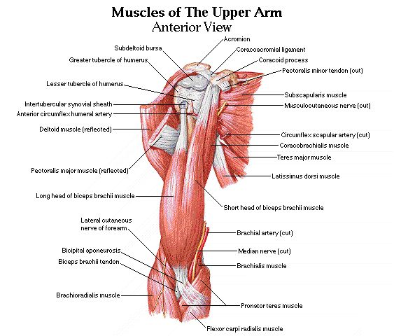 Front Upper Arm Muscles | Fitness | Pinterest | The o'jays ...