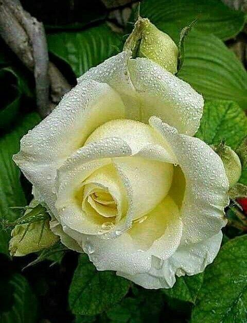 Amazing white rose.