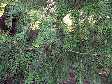 Yew - Torreya Nucifera (nutmeg)