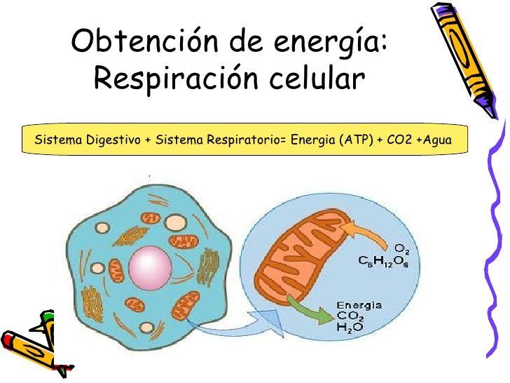 Resultado De Imagen Para Metabolismo Celular Metabolismo Celular Respiracion Celular Metabolismo