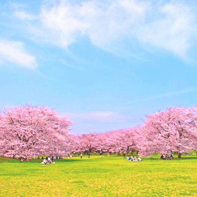 cherry tree in the park  / created by nekotaro