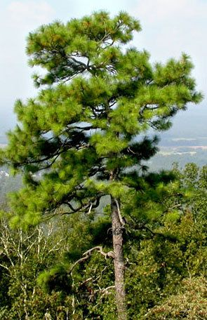 1000 Longleaf Pine Tree Seeds  An excellent Southern Pine tree. This tree grows up to 60 to 70 feet tall in landscape areas. Ranges from