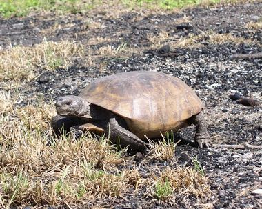 Gopher Tortoise, one of Floridas most iconic dry land residents ...
