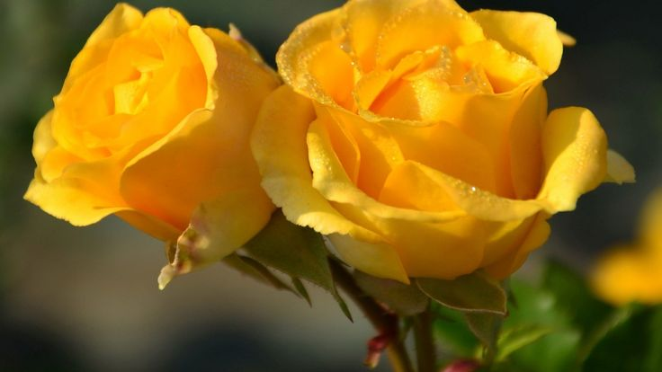flowers yellow roses rose desktop background images