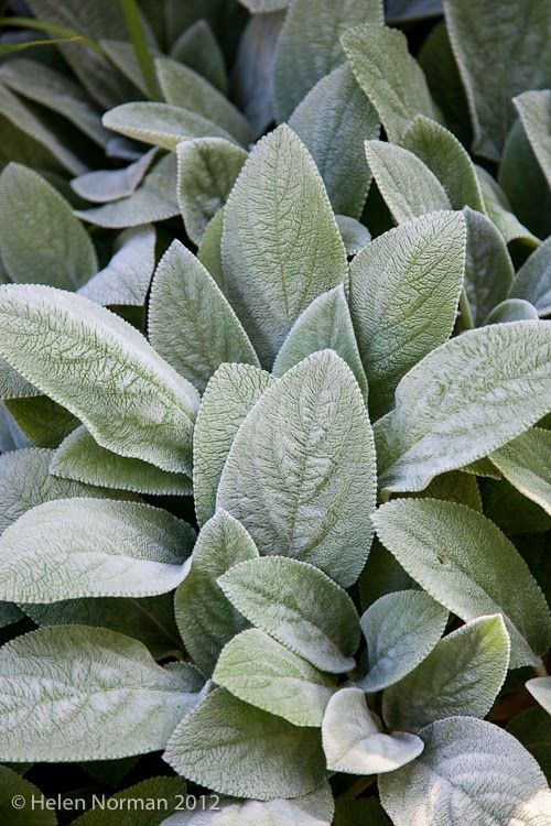The fuzzy gray foliage of Lamb's ears (above) and variegated lamium (below) are must-haves in the white garden.