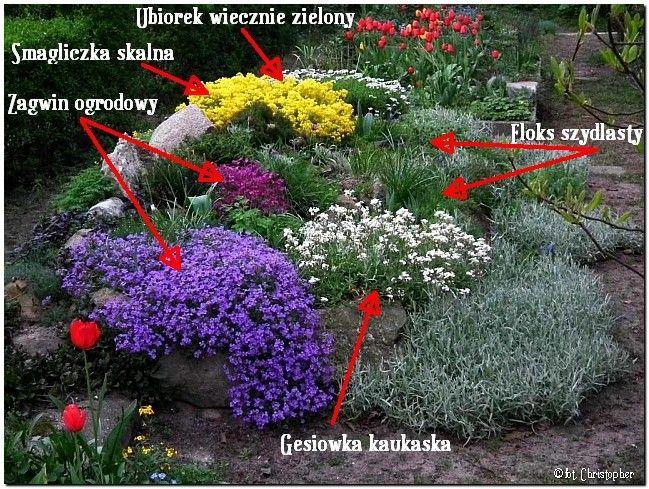 rośliny iglaste na skalniak - Szukaj w Google