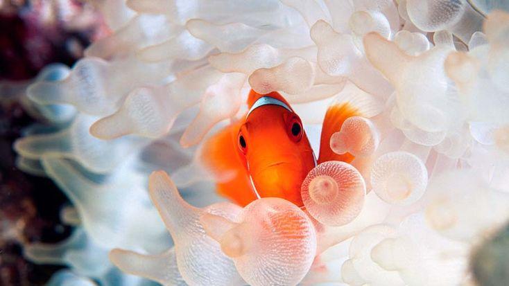 O maravilhoso mundo subaquático é parcialmente determinado pelo o que parece ser um número infinito de espécies de peixes. Com cores que alguns de nós não pode sequer imaginar, milhões de peixes povoam os rios, mares e oceanos de todo o mundo, dan...