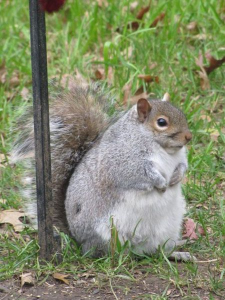 OMG! What a fatty-boobalatty! That's a squirrel that would NOT get away from my dogs!