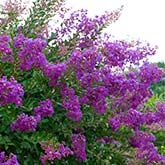 Tonto Crape Myrtle for Sale | Fast Growing Trees