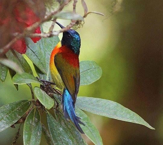 Birds Sunbird: Rainbow Honeyeater, Native To Australia.