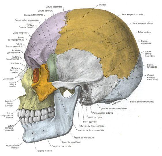 Lacrimal associado aos Ossos do Crânio