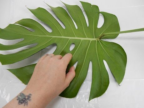 Place a Monstera deliciosa leaf on a flat surface