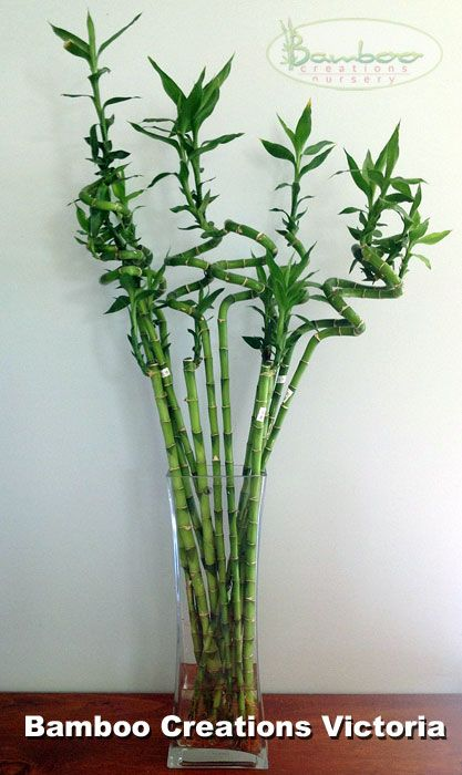 Lucky Bamboo Plant Water . For garden sheds and raised garden beds visit www.gardenshedco.co.nz