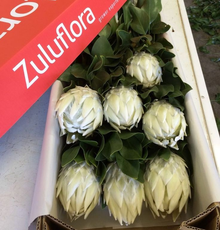 Box of Arctic Ice King Protea flowers fresh from the farm #capeflora #whitewedding