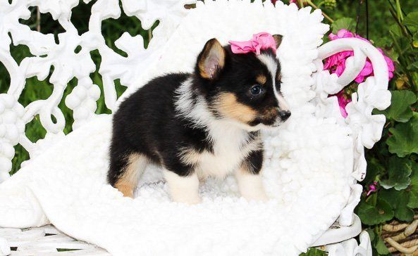Meet Makenna Female Pembroke Welsh Corgi Puppy For Sale