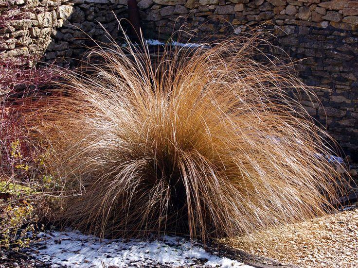 Chionochloa rubra (NZ Tussock grass) | specialplants