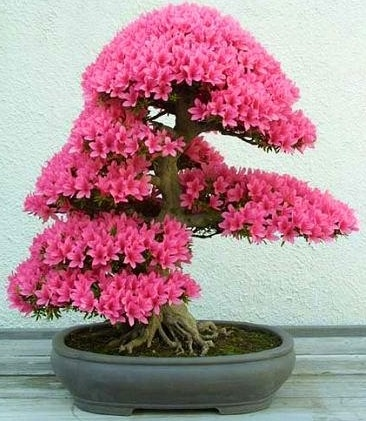 BONSAI TREE WITH PINK FLOWERS!