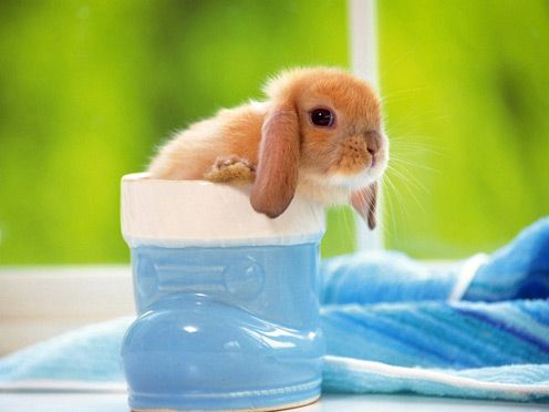 Tiny Lop-eared Rabbit