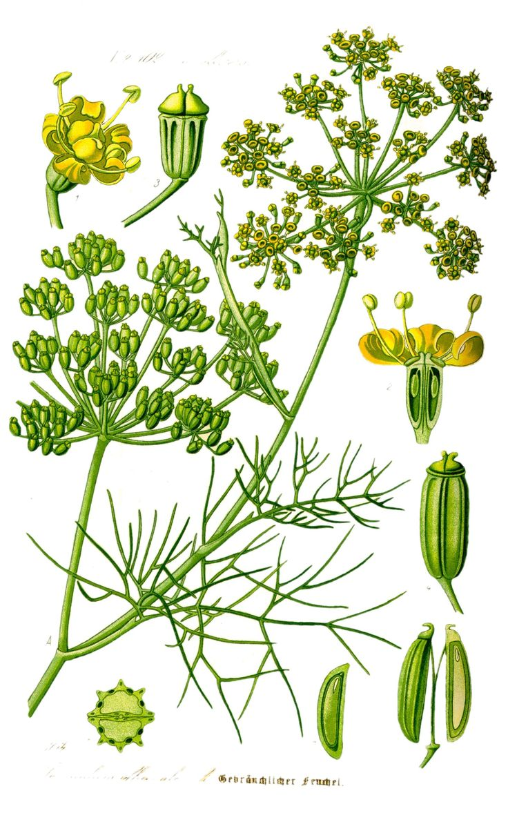 foeniculum vulgare (common name: fennel) [fr: fenouil, fenouil commun]