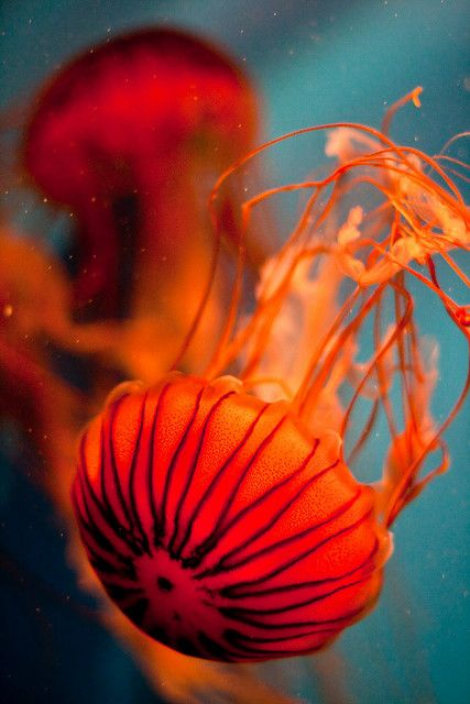Flame Jellyfish <-- gasp. I want a salt water fish tank just so i can have Jelly Fish in it! #Dream