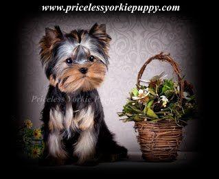 Teacup yorkie Michigan, Teacup yorkie for sale, Teacup yorkies for sale, teacup puppies for sale, Michigan dog breeder, dog breeder, Yorkie breeder, Yorkshire Terrier breeder, AKC yorkies, AKC yorkie, AKC Yorkshire, AKC Yorkies for sale, Quality yorkies for sale, Champion yorkies for sale, Michigan, Puppy, Puppies, Yorkie, Yorkshire, Yorkies, t-cup