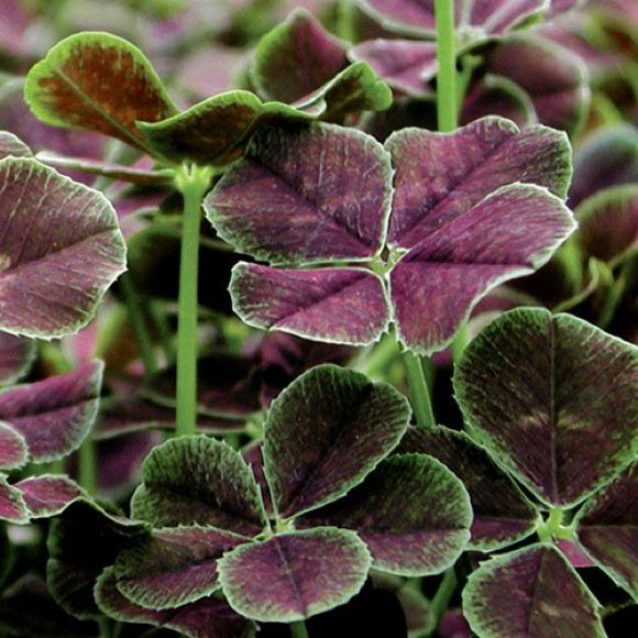30 best images about purple shamrock on pinterest gardens luck of the irish and edible bird 39 s - Shamrock indoor plant ...