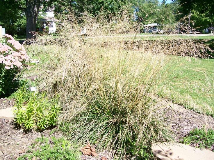 49 best images about my drought tolerant yard on pinterest gardens drought resistant plants - Drought tolerant grass varieties ...
