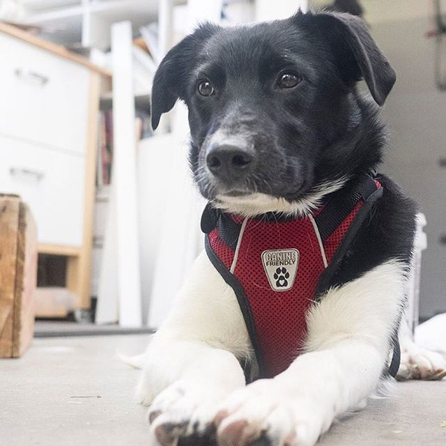 Geordie the studio dog. #geordiethedog #newemployee #junehunterimages #rescue #dogsofinstagram