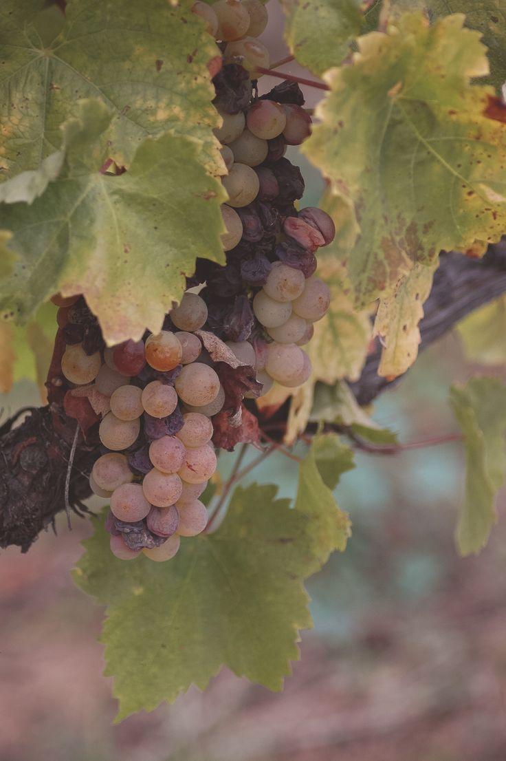 Hungarian wine grapes. Tokaj
