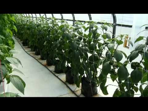Chris Mullins takes us inside the greenhouse to find out how to grow tomatoes, From the Ground Up. More at VaFarmBureau.org.