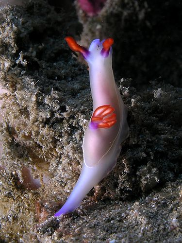 Hypselodoris nudibranch | Flickr - Photo Sharing!