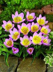 Syreenitulppaani Lilac Wonder 20 kpl/pkt (93048460)