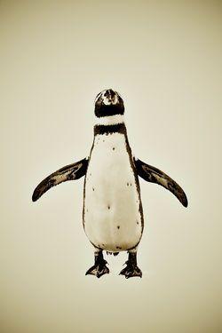 "Saatchi Art Artist Pernille Westh; Photography, ""Animal Series ""Penguin"""" #art"