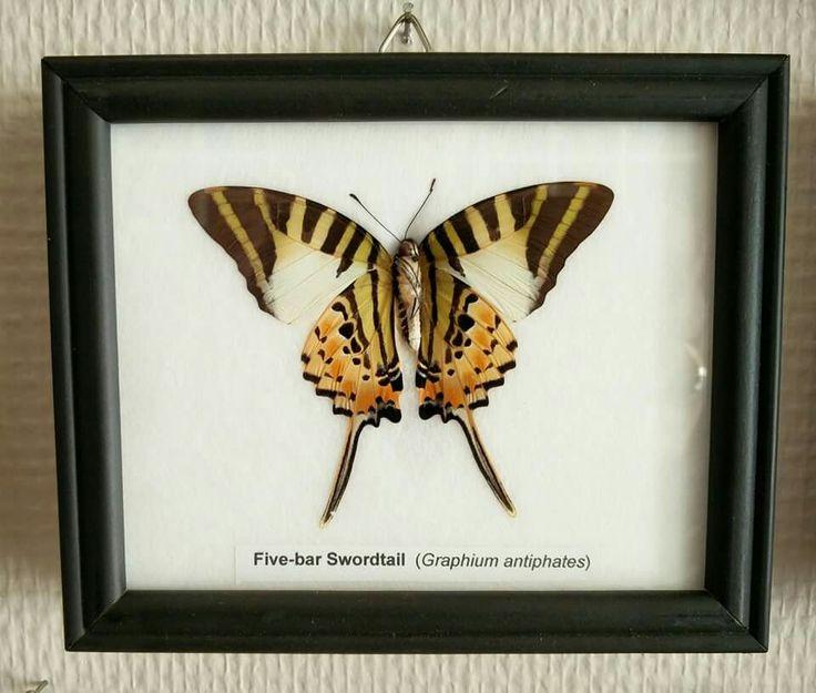 The five bar swallowtail