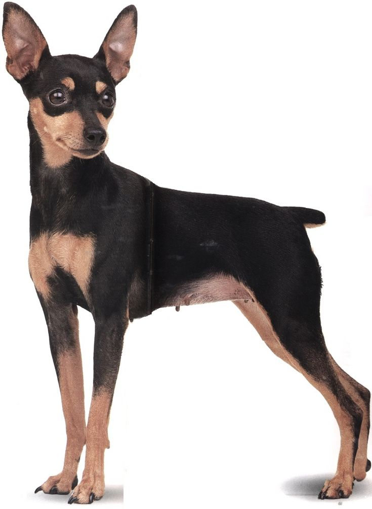 Zwergpinscher Black with tan markings Variety Germany
