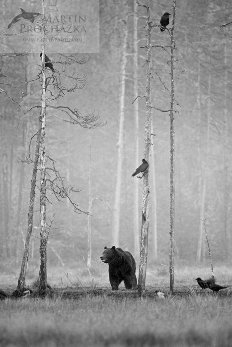 Brown bear (Ursus arctos) medvěd hnědý, Finland