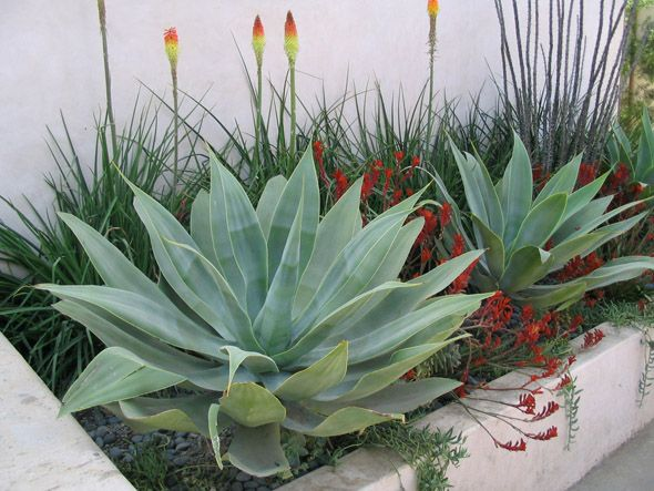 A planting bed next to Spanish style home with kangaroo paws, red hot pokers in Los Angeles