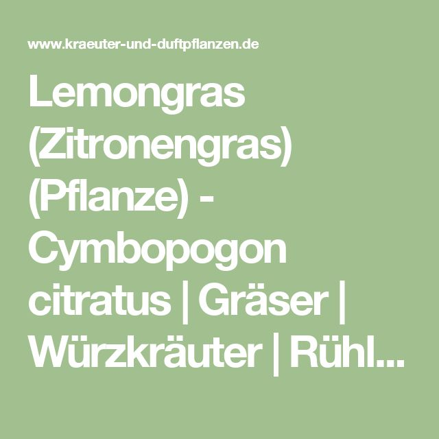 Elegant Lemongras Zitronengras Pflanze Cymbopogon citratus Gr ser W rzkr uter R hlemann us
