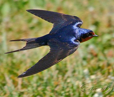 1022 Best Images About Birds Swallows Amp Martins On
