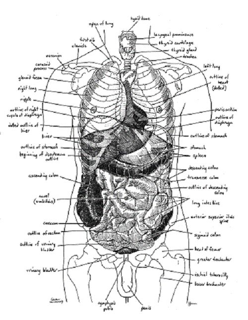 Diagram of human anatomy organs