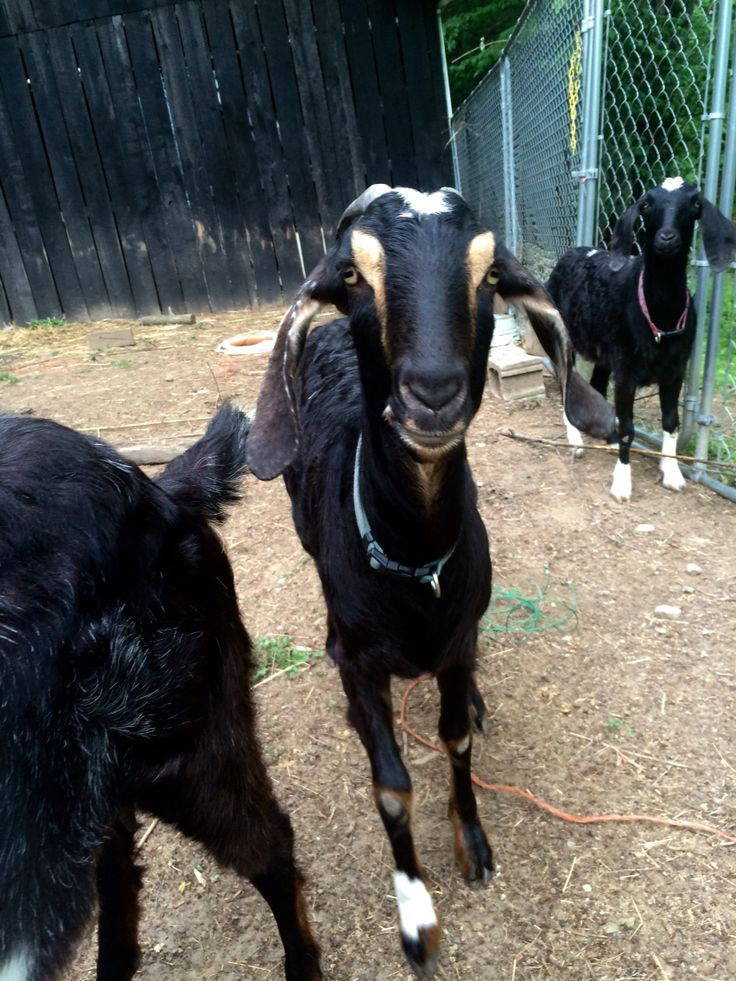 My three Nebian goats I used to have: Sally-Right, Stormy-middle, and my oldest, Esther-left, even though you can only see her back ;)