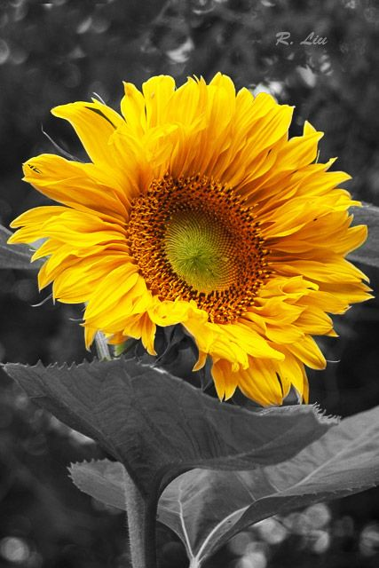 Sun flower, black and white splash of colors. Photo taken and made by Audrey Liu.