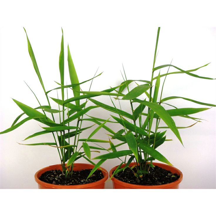 175mm thysanolaena maxima tiger grass i n 3593237 for Fast growing ornamental grass