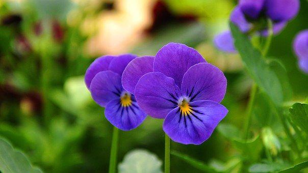 Pansy, Kwiat, Kwiat Ogród, Flora