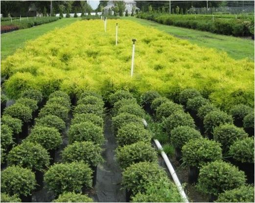 New Life Nursery-wholesale plant supplier Bridgeton NJ -Serving clients from New England and throughout the Mid-Atlantic States. www.facebook.com/newlifenurseryinc Call 856-455-3601
